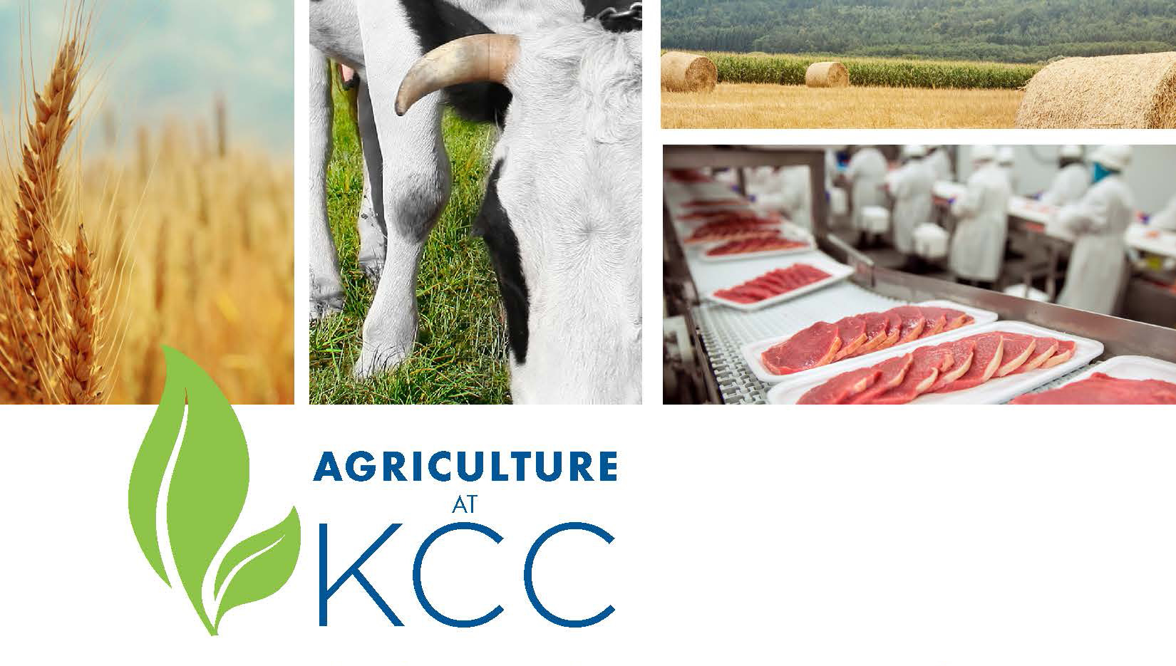 Closeup photos of wheat, a cow and processed meat on a promotional slide for KCC's Agricultural Operations Program.